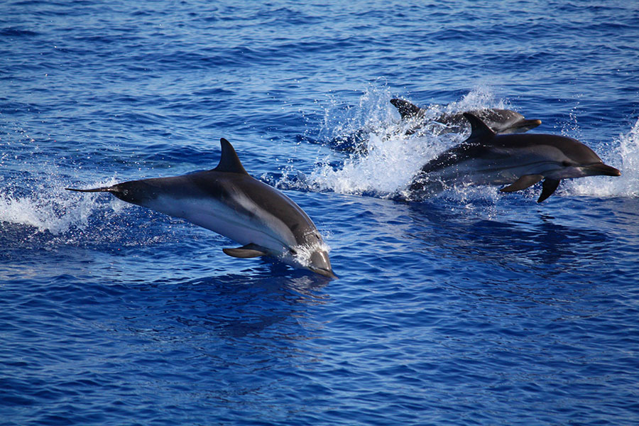 Dolphins in Sicily